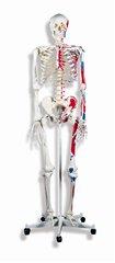 人体骨格モデルA11