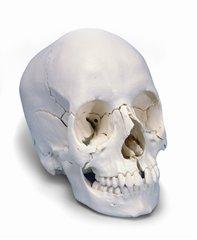 頭蓋骨22分解A290