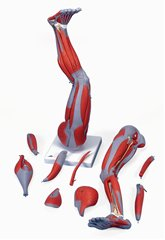 下肢の筋肉9分解モデルM-20